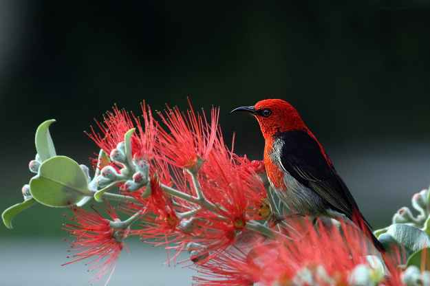 nature bird red wildlife