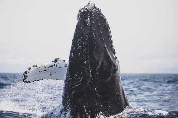 humpback whale in ocean
